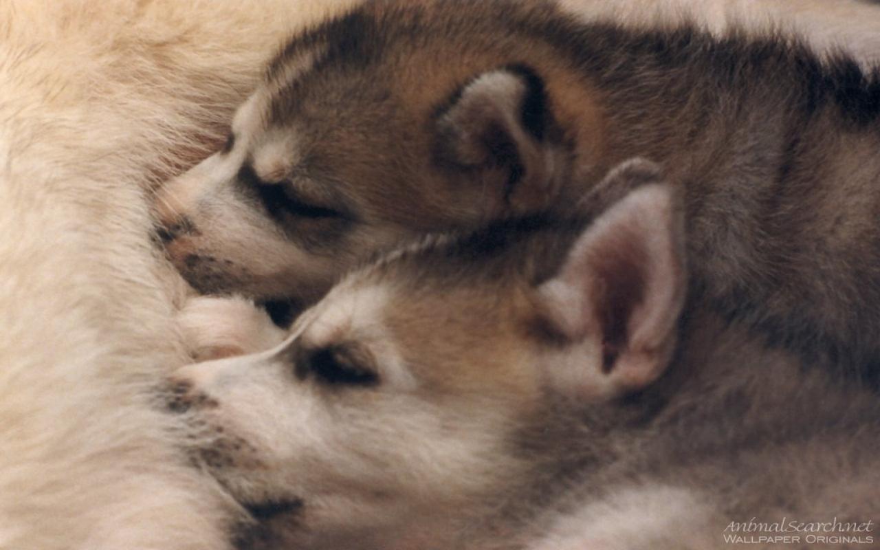siberian husky puppies wallpaper wallpapersafari. Black Bedroom Furniture Sets. Home Design Ideas