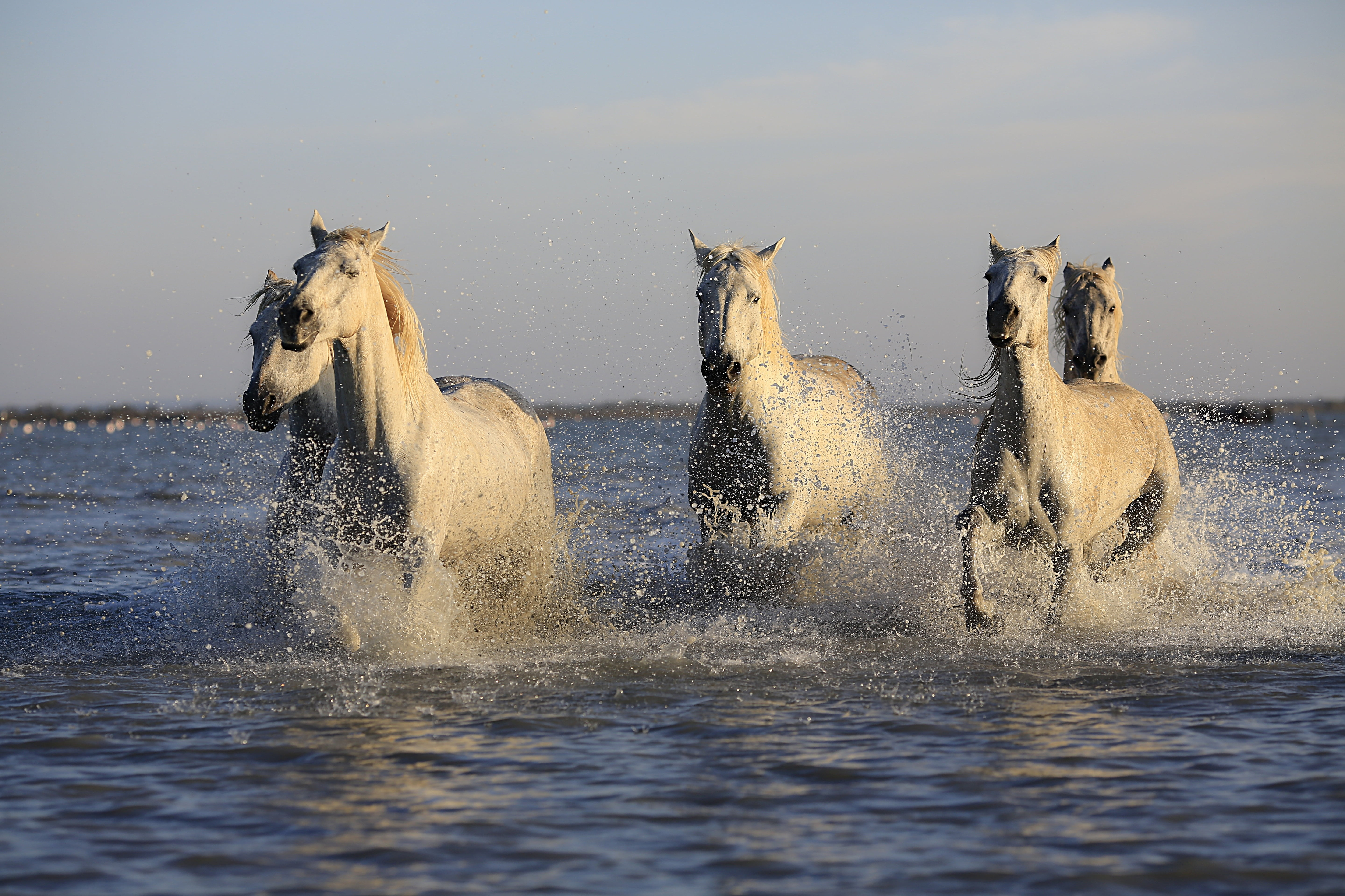 Group of white horse running on top of body of water HD wallpaper 5760x3840