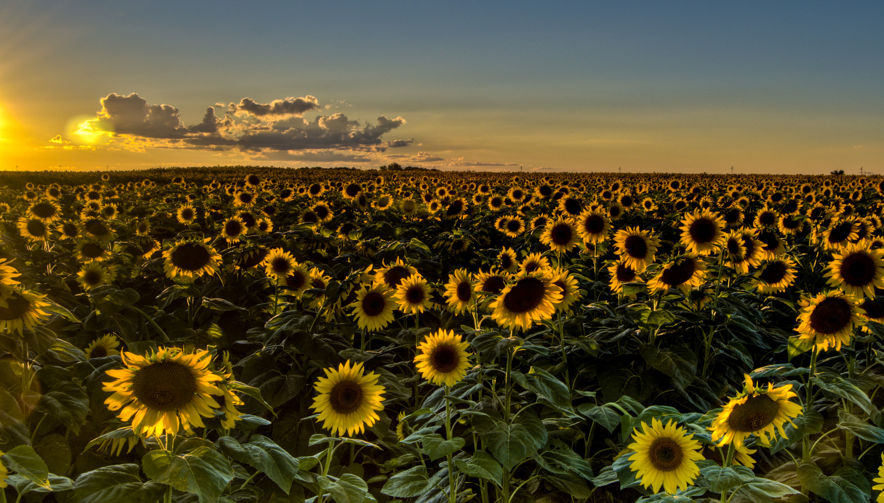 Sunset Field Sunflowers Sunflower Wallpaper Background 3638x2071