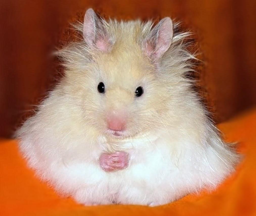 Funny Fluffy Hamster   Computer Screen Saver PC Desktop Wallpaper 1013x853