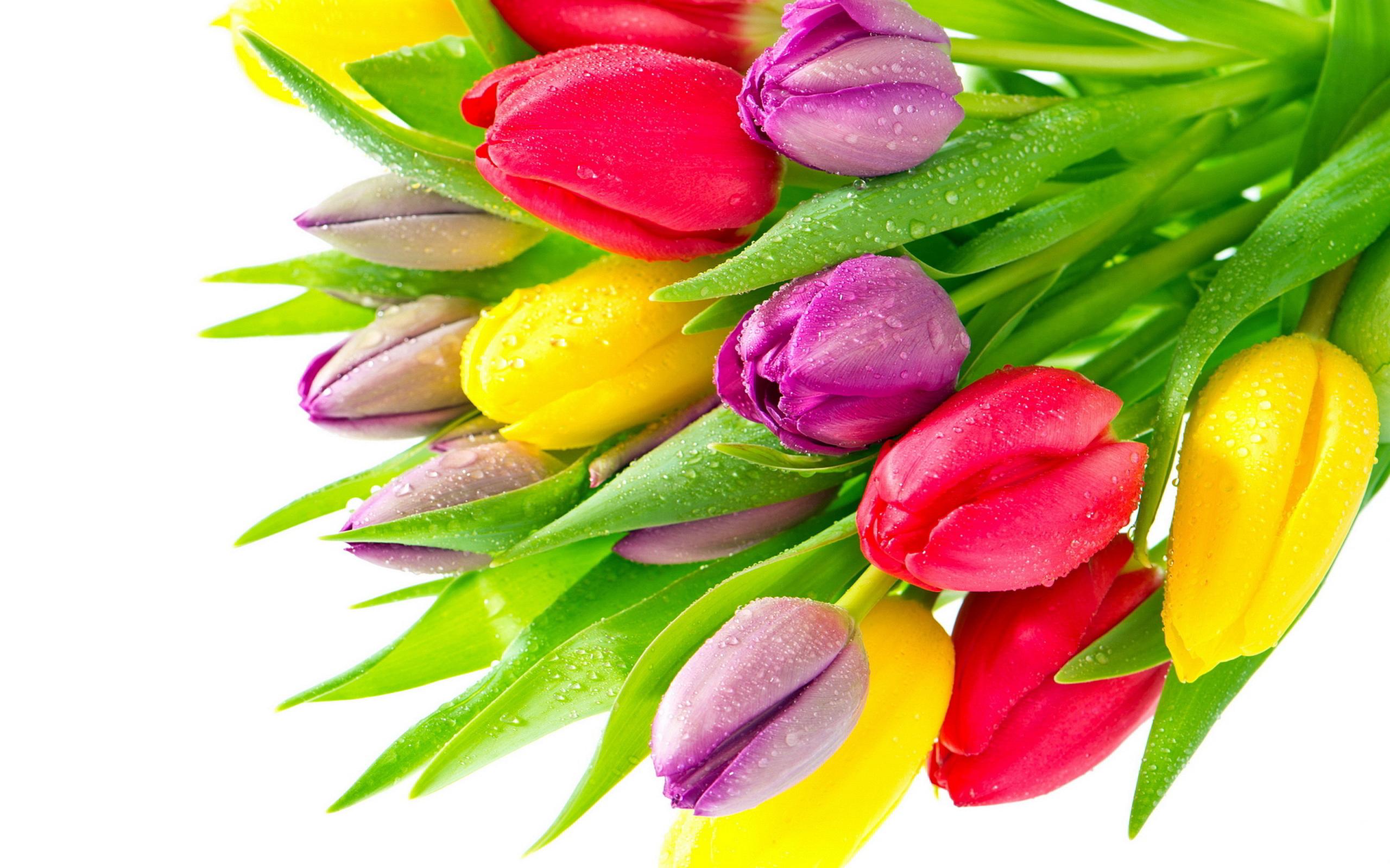 Colorful Tulip Flowers HD Desktop Wallpaper HD Desktop Wallpaper 2560x1600