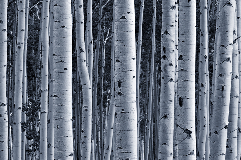 Aspen tree wallpaper for home wallpapersafari for Aspen wall mural