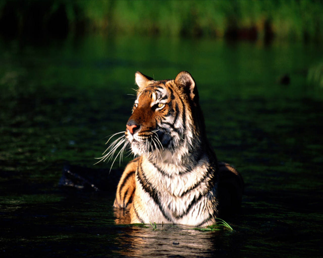 tiger in water wallpaper - wallpapersafari