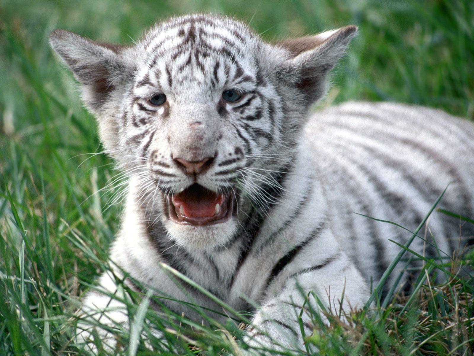 White tiger cubs Wallpaperart 1600x1200