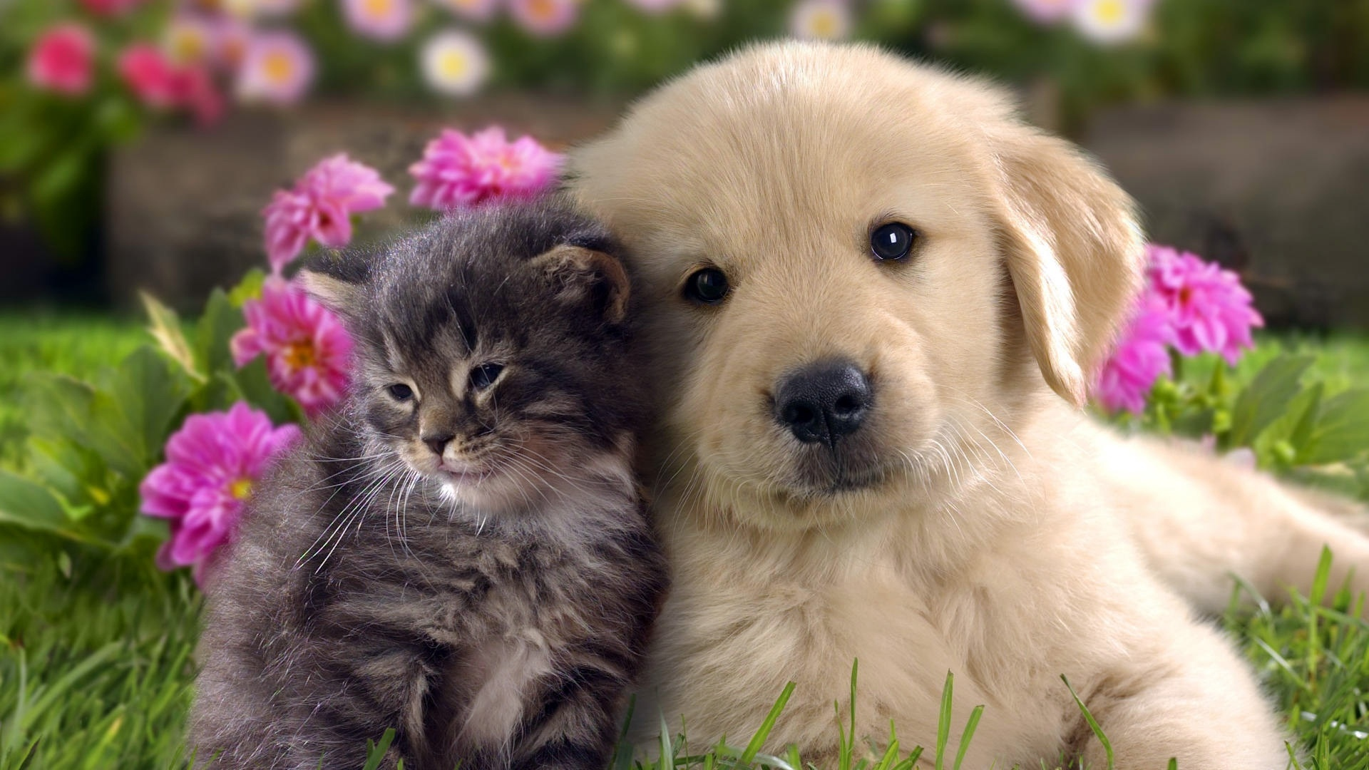 Cat and dog harmony wallpaper download Cat and dog harmony Cat 1920x1080