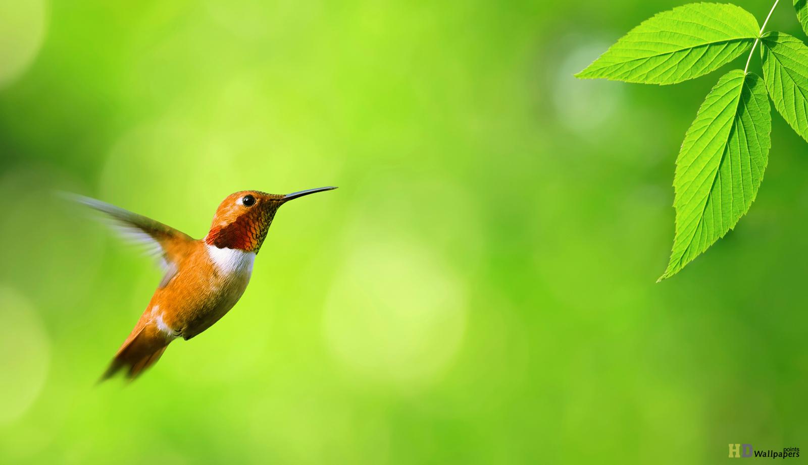 Обои для рабочего стола птица колибри