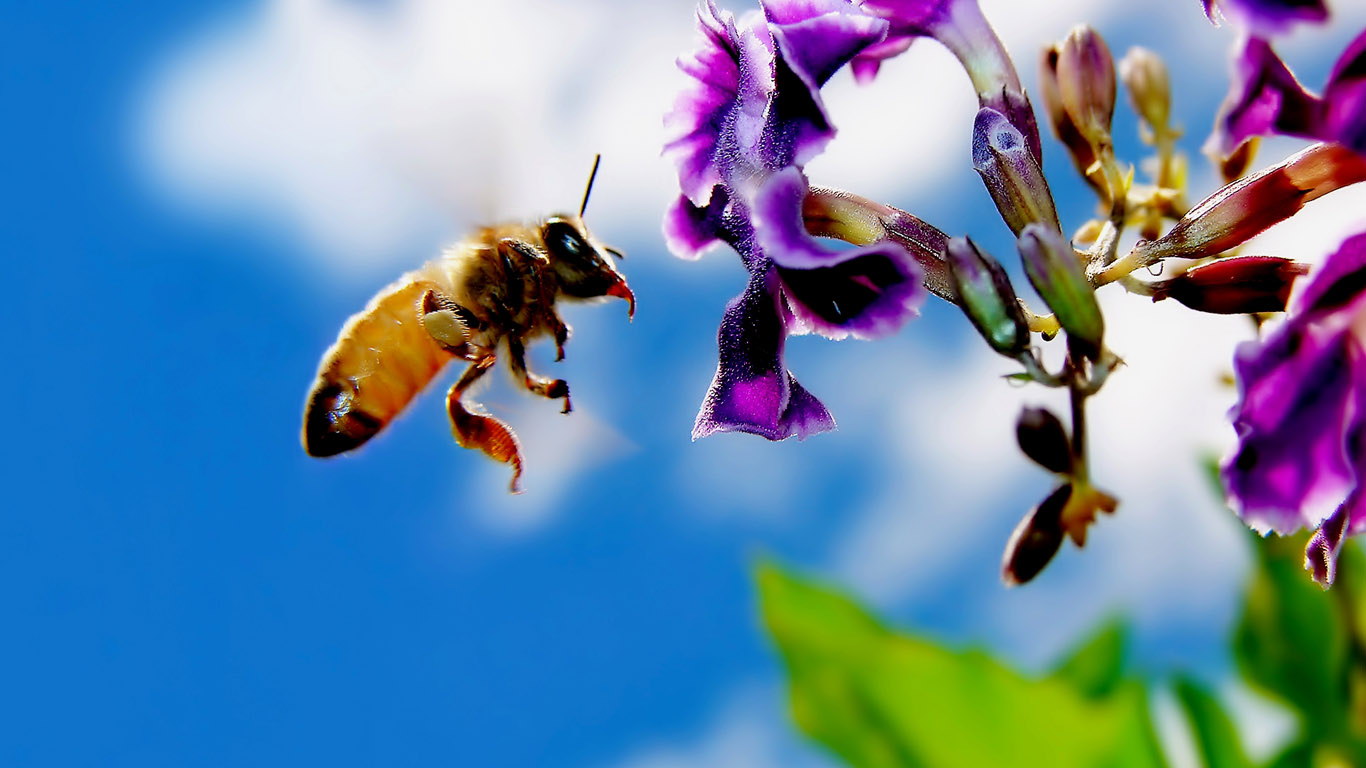 Latest Bee HD Wallpapers Images And Photos Download 1366x768