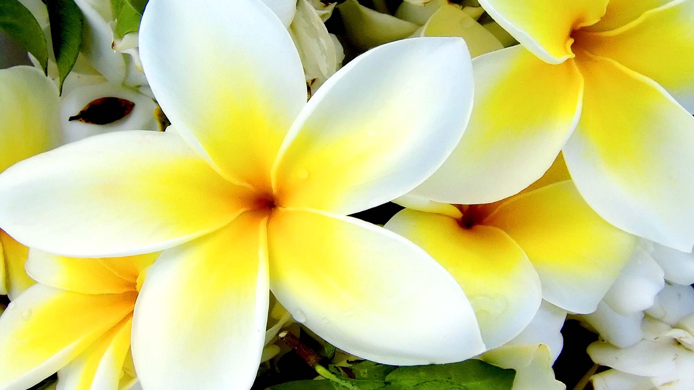 httppiresearchnettropical plumeria flower flower wallpaperhtml 2400x1350