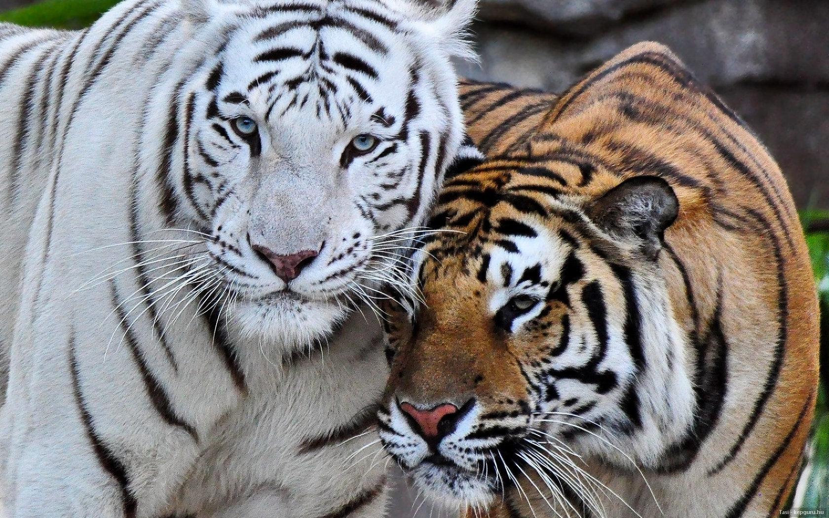 amour de tigre du bengale Wallpaper   ForWallpapercom 1680x1050