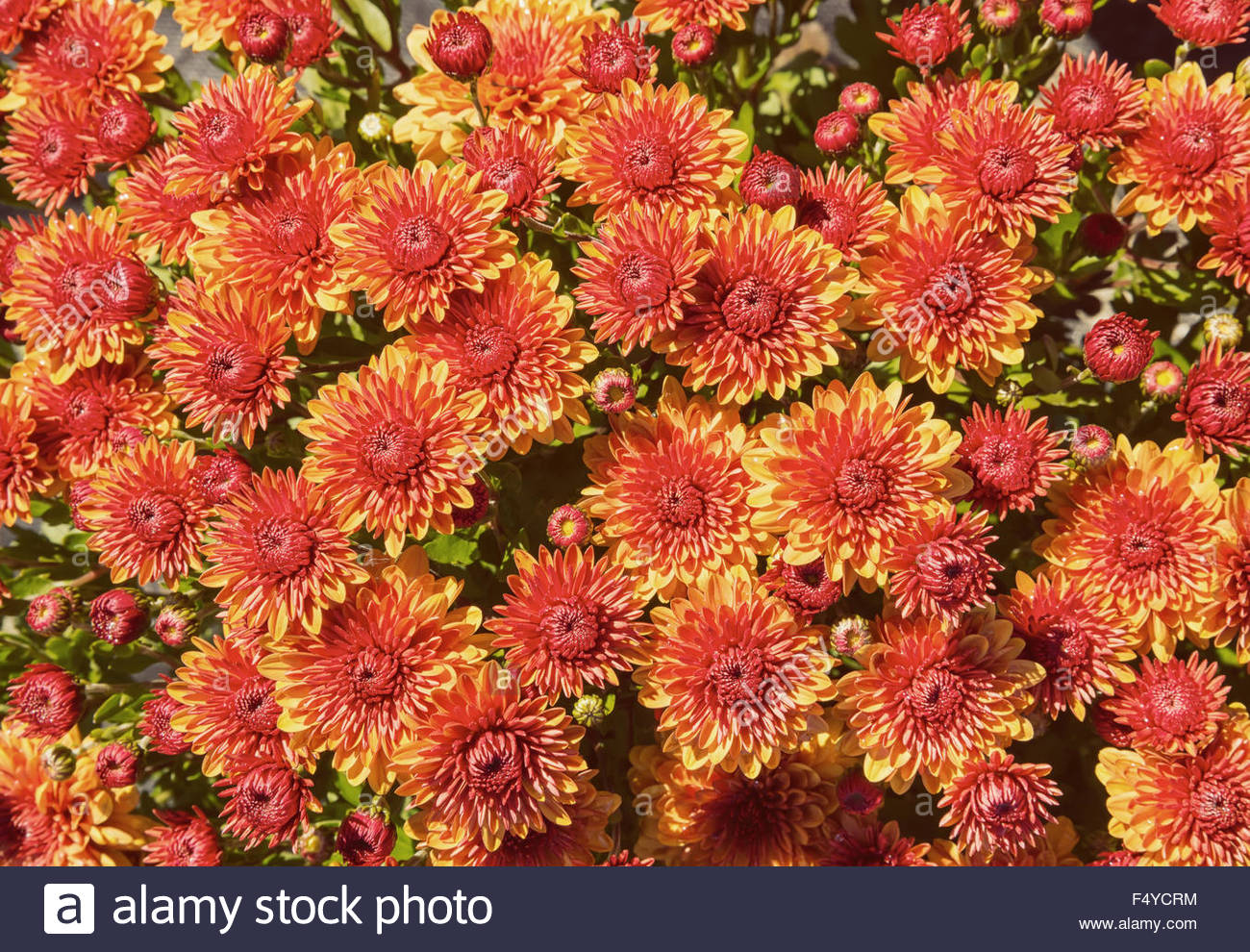 Autumn Mums or Chrysanthemums for flower background Stock Photo 1300x990