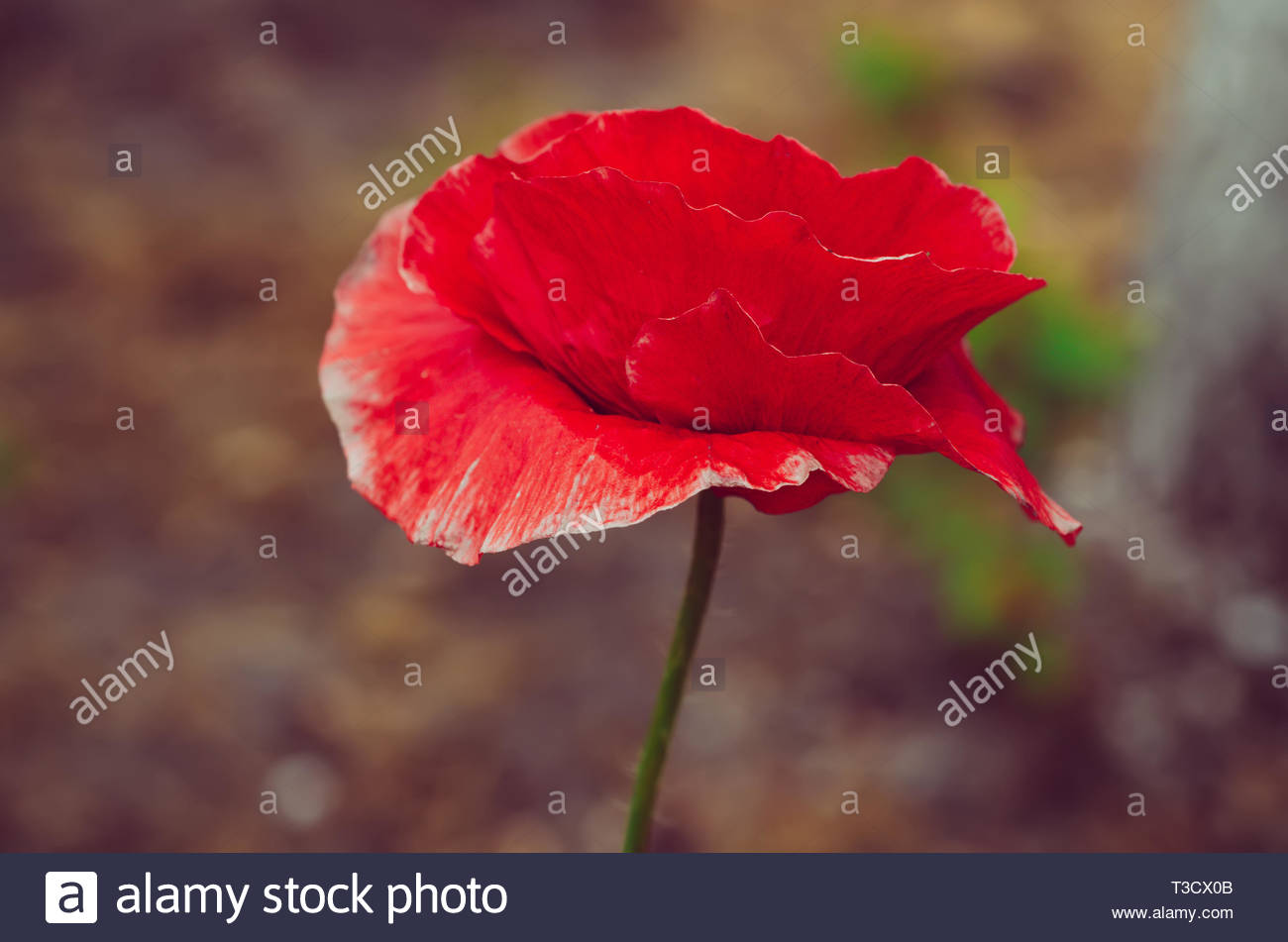 Red poppy flower blooming in the field floral natural spring 1300x951