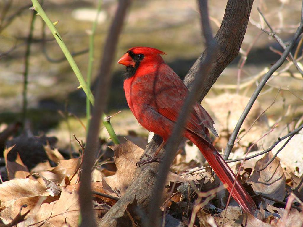 cardinalscardinal birdflying cardinalsweet cardinalsred cardinal 1024x768