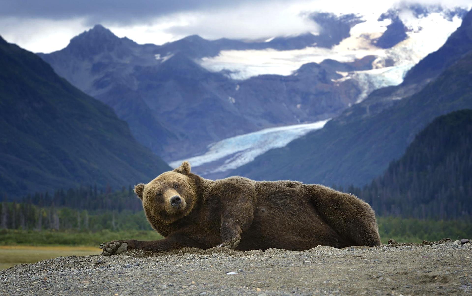 Alaskan Brown Bear Silhouetted Against Mount Katolinat, Alaska  № 1442544  скачать