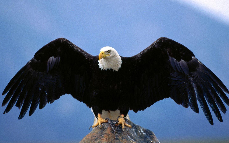 American Bald Eagle Wingspan 1440x900 WIDE Image Animals 1440x900