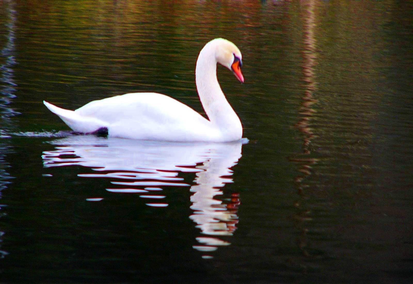 Swan wallpaper for home wallpapersafari - Swan wallpapers for desktop ...