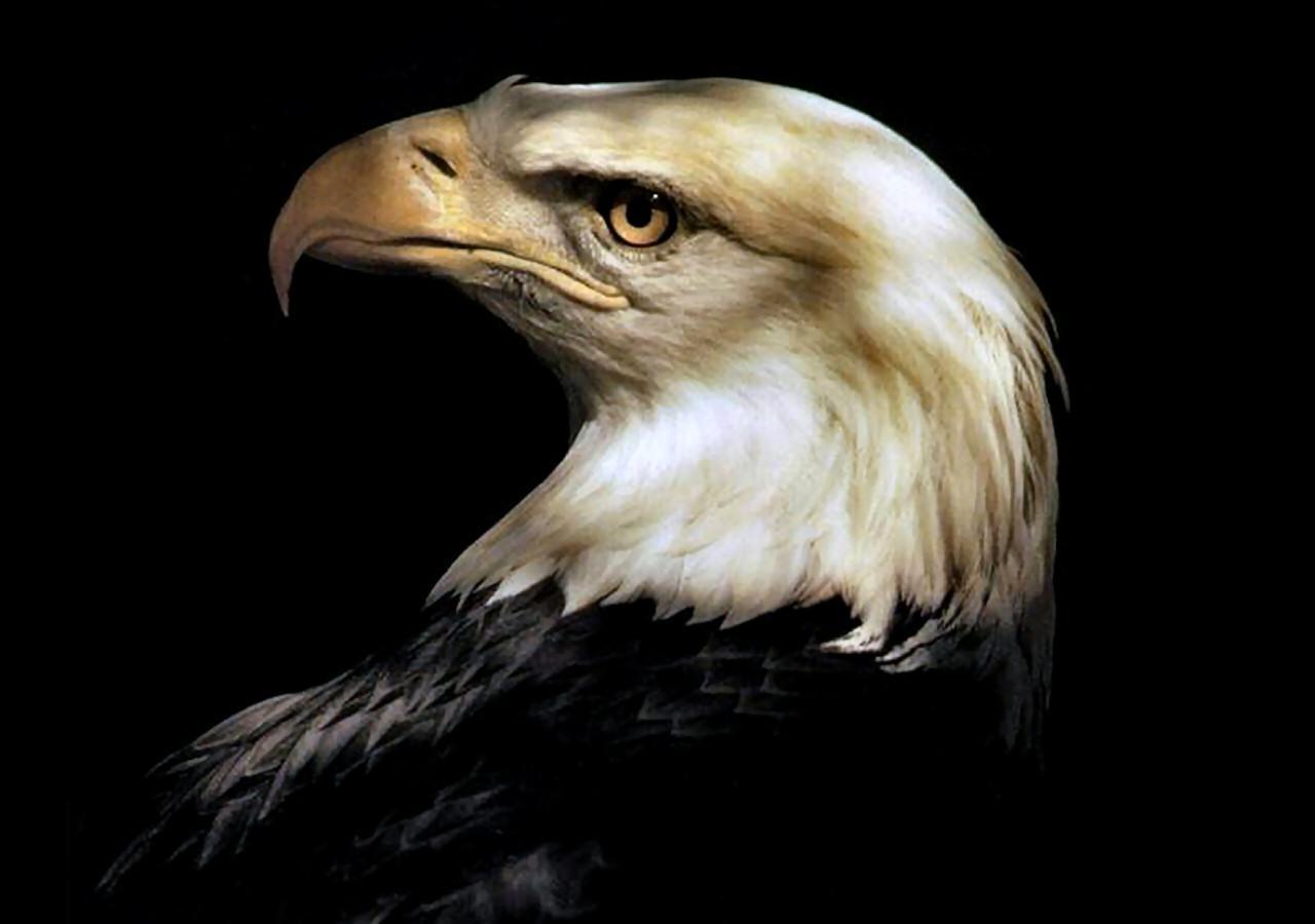 American bald eagle HQ WALLPAPER   167288 1280x900