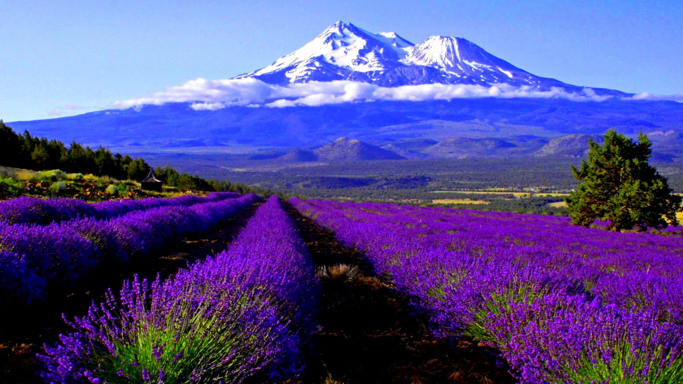 Gallery For gt Lavender Wallpaper 1366x768