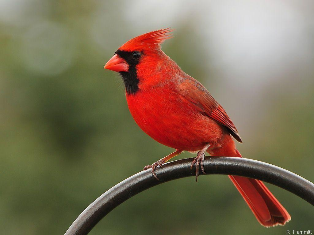 Cardinal Bird Wallpapers 1024x768