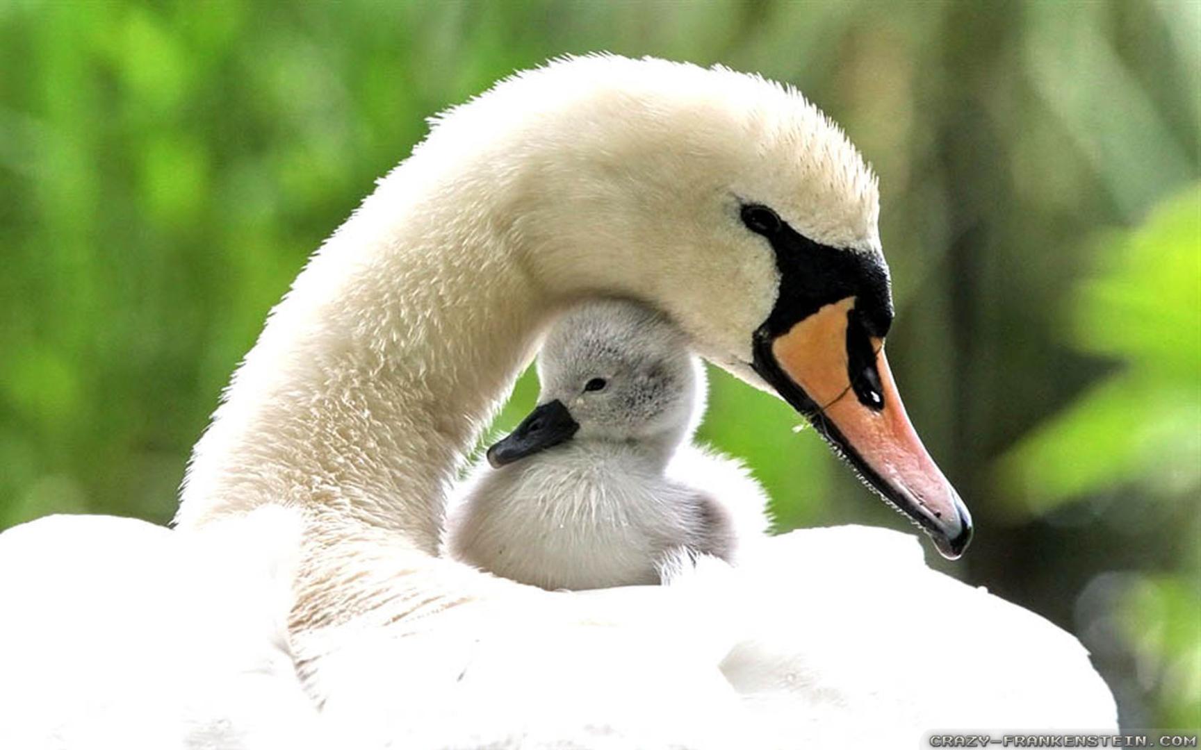 Desktop Wallpapers Baby Swan Spring Animals Wallpapers   iWallScreen 1728x1080