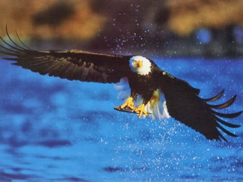 Desktop HD Wallpapers Downloads Bald Eagles HD Wallpapers 800x600