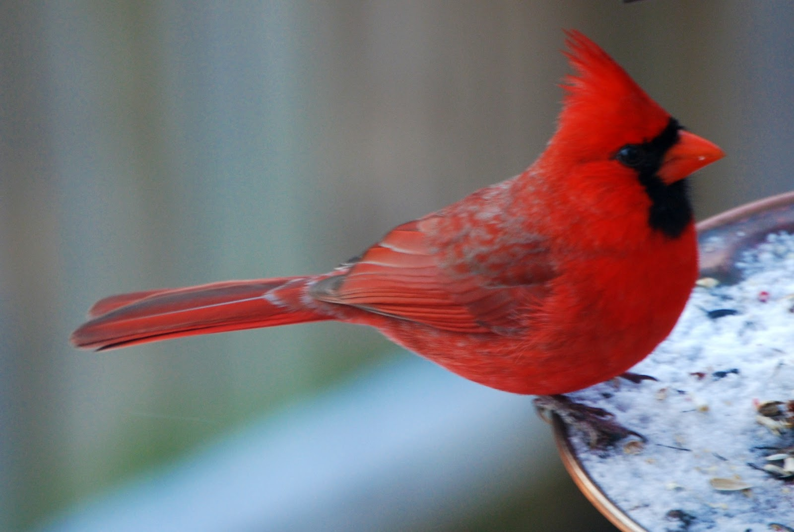 Cardinal Birds Wallpaper Download Birds Cardinal Download Birds 1600x1072