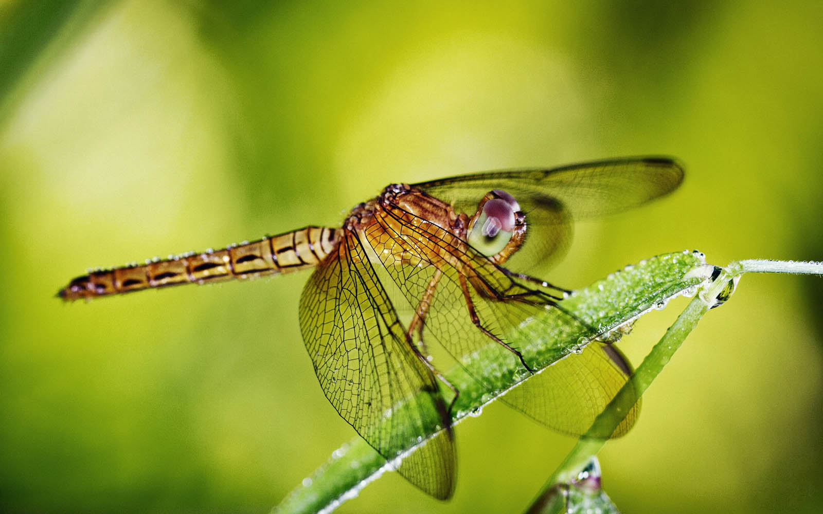Dragonfly Wallpapers   Amazing Picture Collection 1600x1000