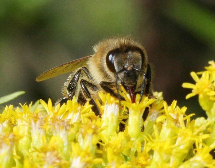 Honey bee   Image Page 700x548