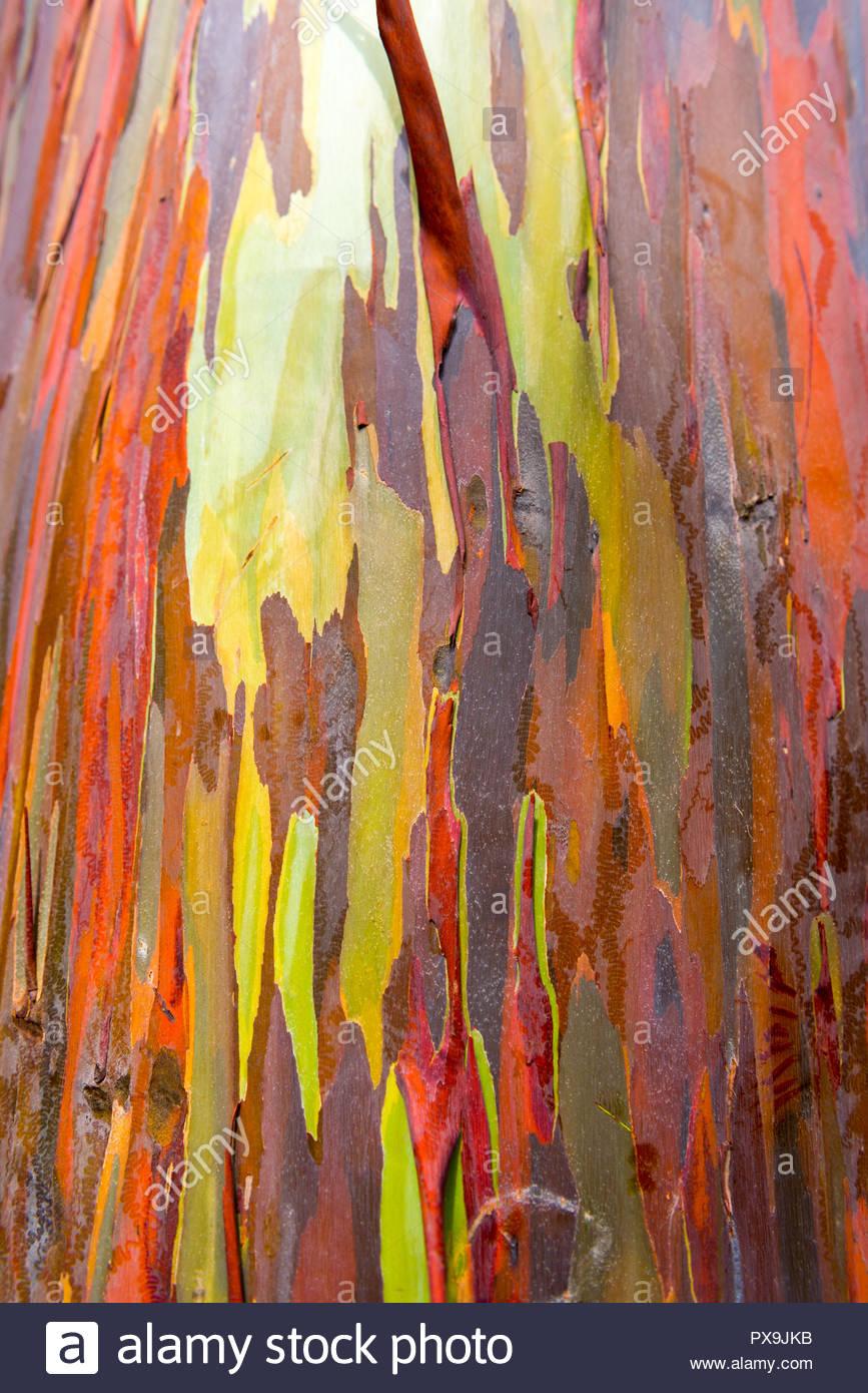 Eucalyptus bark texture abstract background Kauai Hawaii USA 867x1390