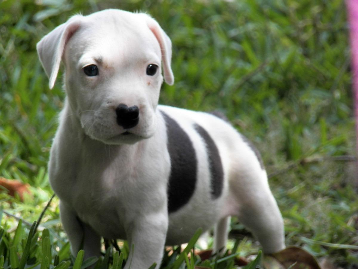 Pitbull Puppy Dog Hd Wallpaper Beautiful Desktop Images 1200x900