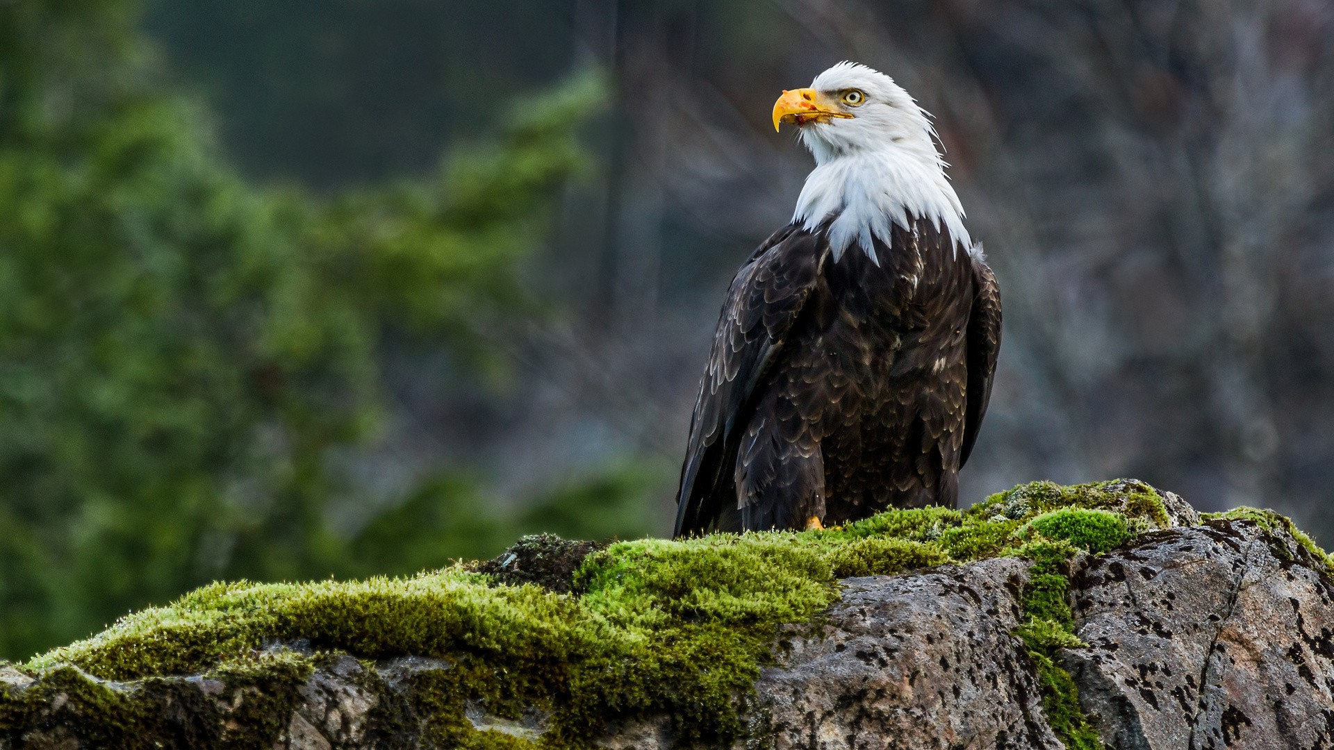 animals Nature Wildlife Eagle Birds Moss Bald Eagle 1920x1080