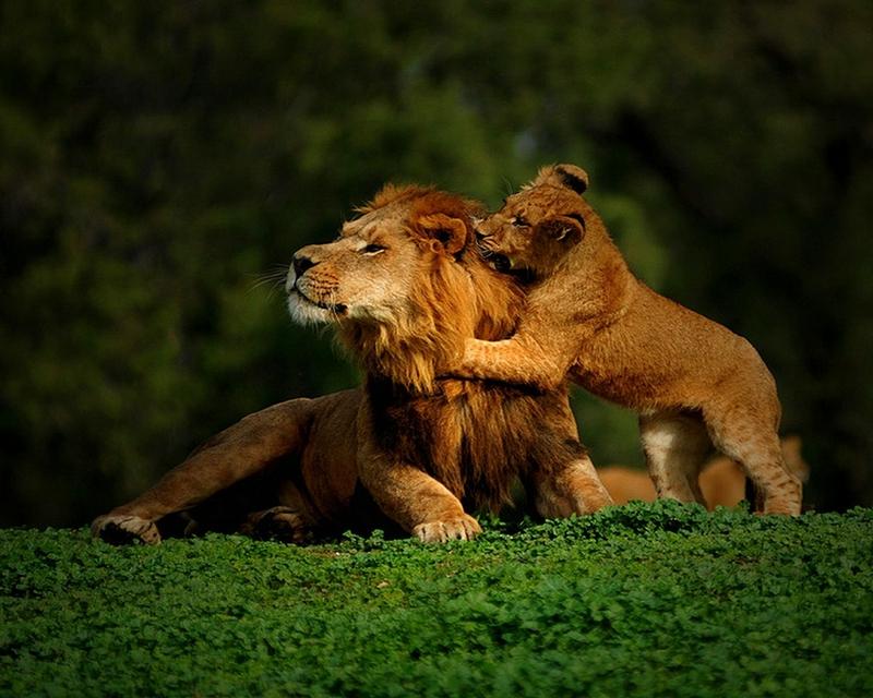 cubs lions 1280x1024 wallpaper Lion Wallpaper Desktop 800x640