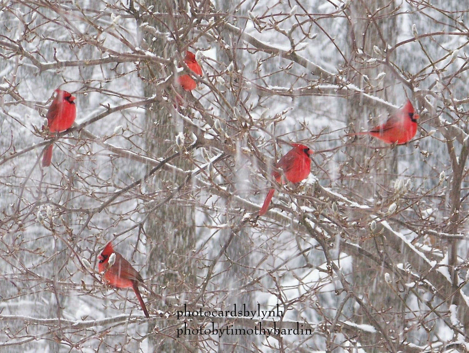 seeing red cardinals mulberryshoots 1500x1127