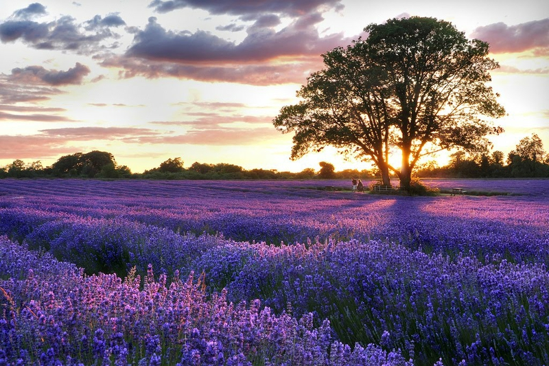 Lavender Fields Wallpaper Wallpapersafari