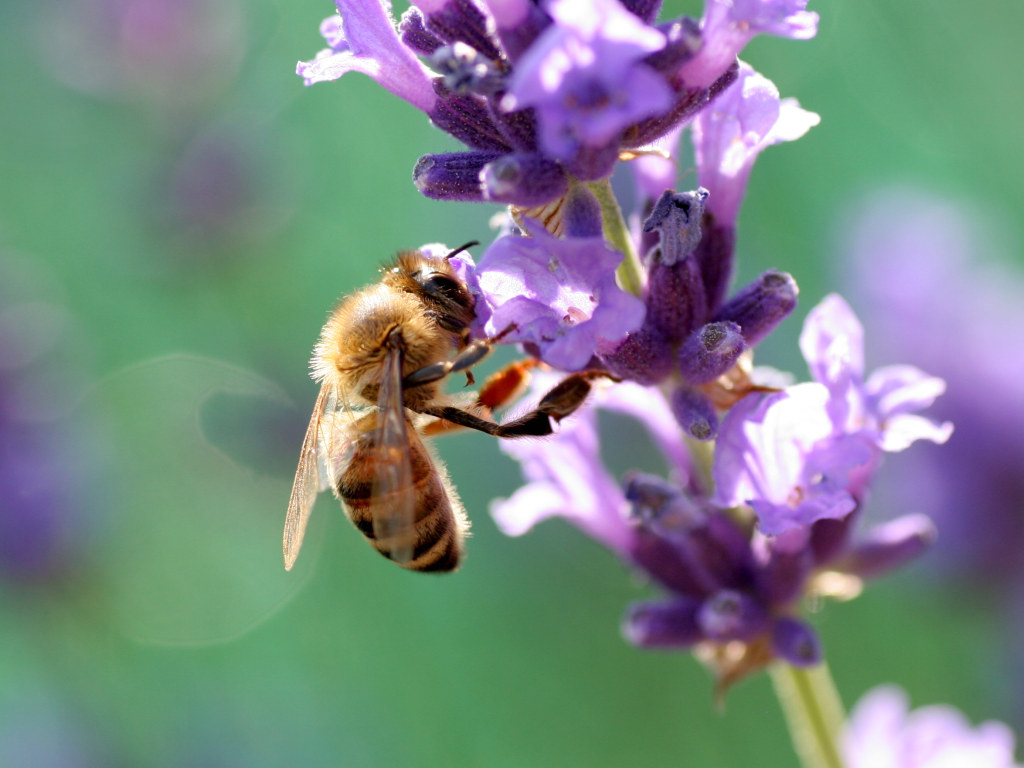 Bee Image   Splendid Wallpaper HD 1024x768