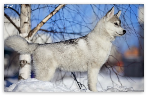 Husky Puppy Winter HD wallpaper for Standard 4:3 Fullscreen UXGA XGA ...
