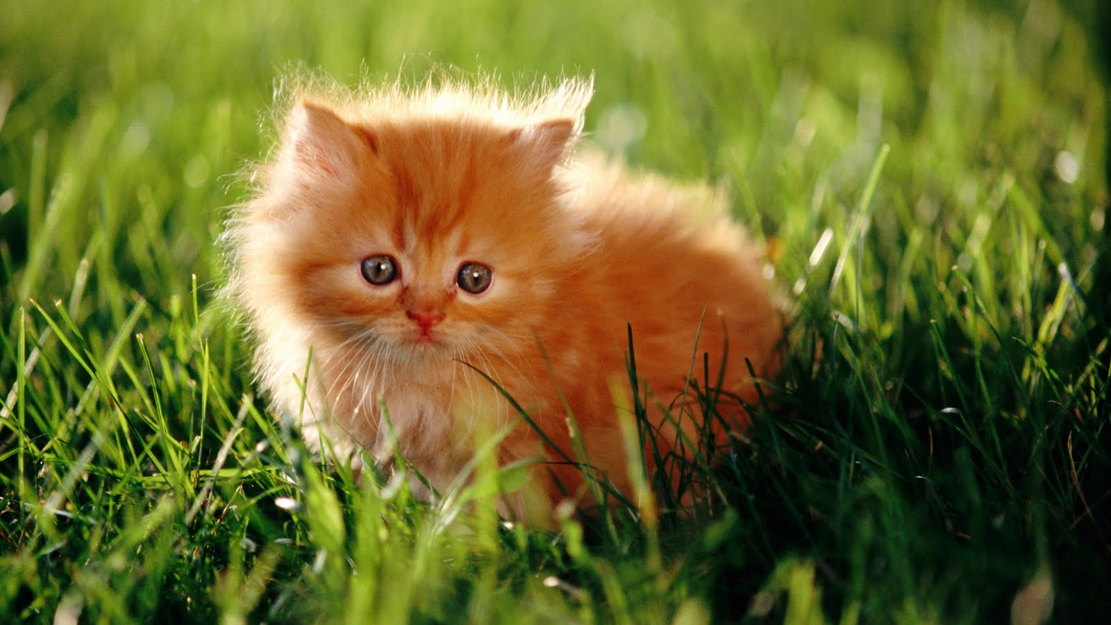 Cat Hd Wallpapers 1080p Wallpapersafari