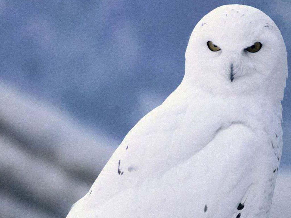 Owl Wallpaper HD - Wal...