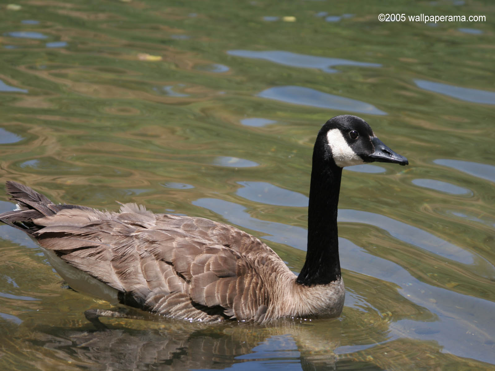 Canadian Goose Wallpaper HD Backgrounds Images Pictures 1600x1200
