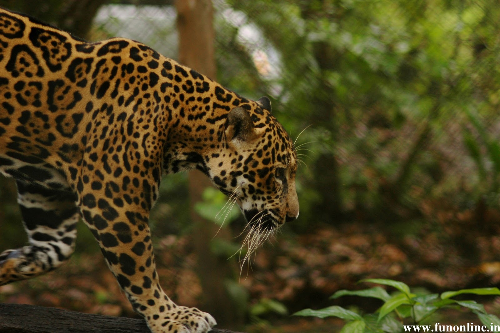 Jaguar Wallpapers Stunning Jaguar HD Wallpapers for Download 1600x1064