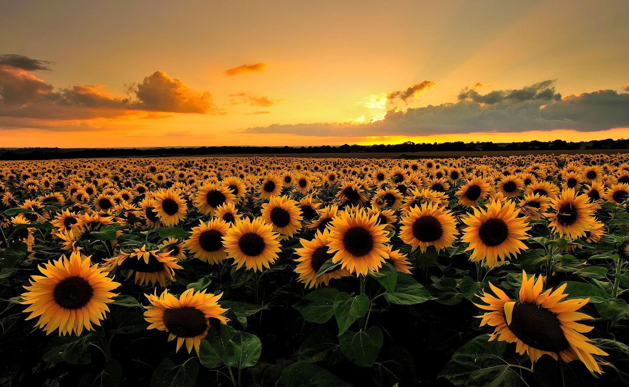 Sunflower Desktop Wallpapers   Top Sunflower Desktop 2048x1260