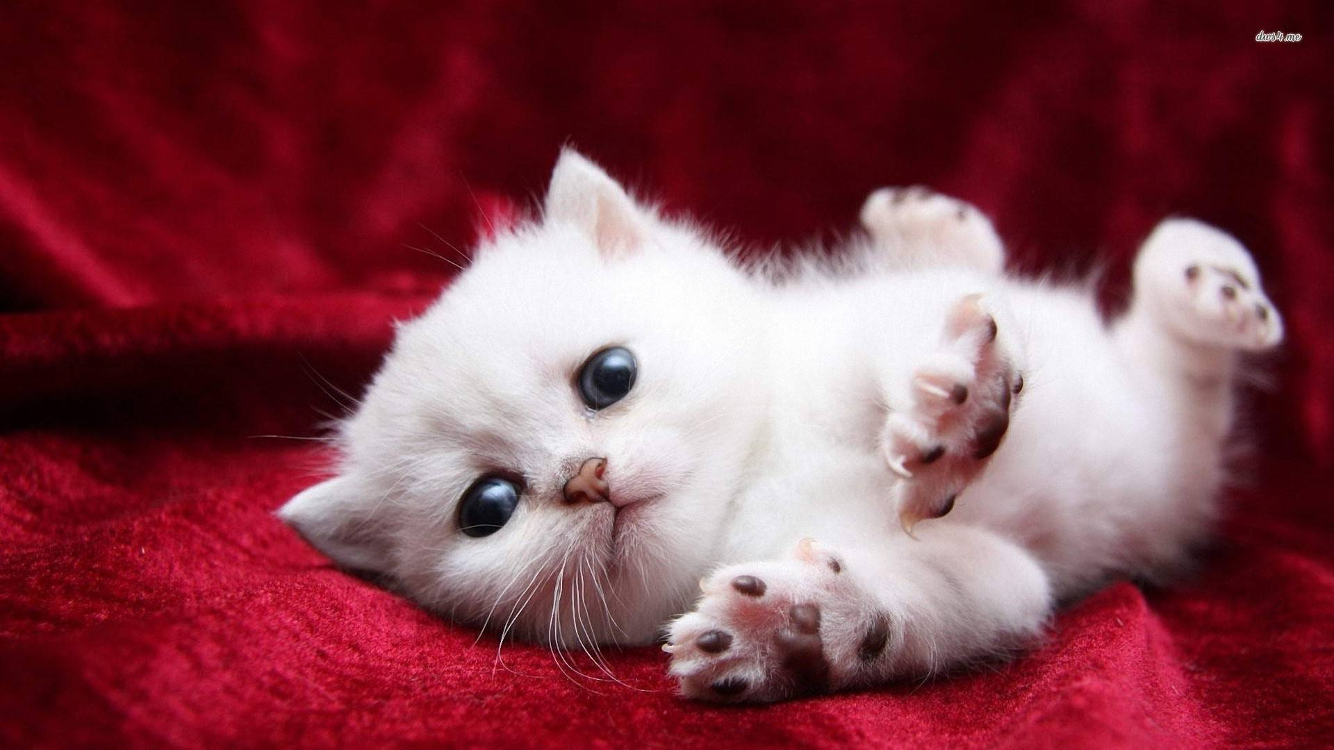 Free Download Super Cute White Kitty Cats Wallpaper 1920x1080 For Your Desktop Mobile Tablet Explore 74 White Cats Wallpaper Cat Desktop Wallpaper Black And White Cat Wallpaper Kittens Desktop Wallpaper