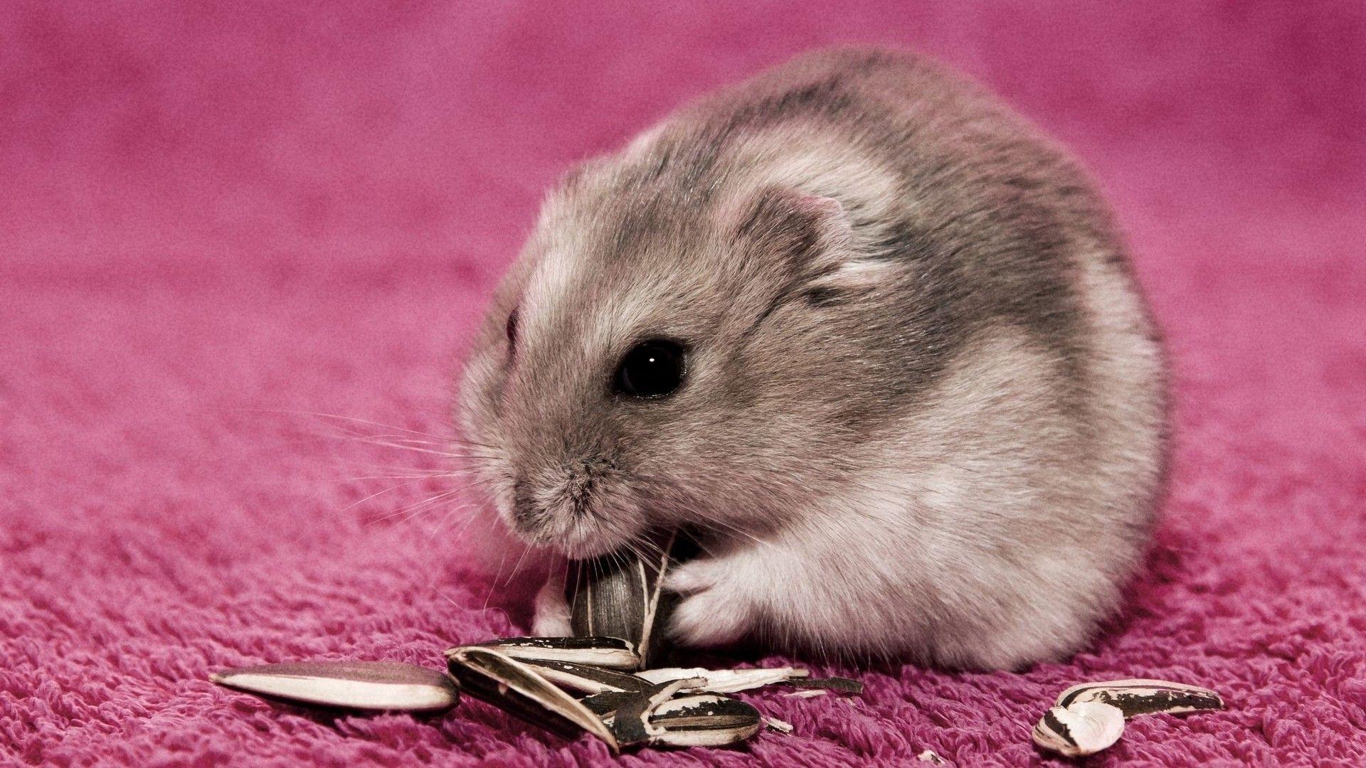 Hamster on a pink carpet wallpaper 15948 1920x1080