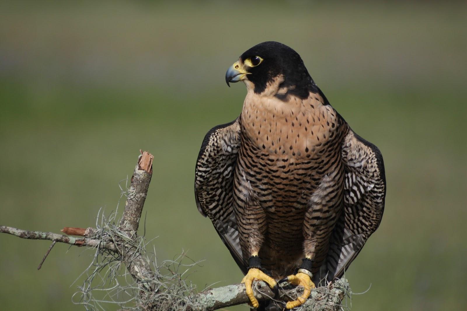 peregrine falcon Peregrine falcon in indiana, including food habits, family life, habitat and population.