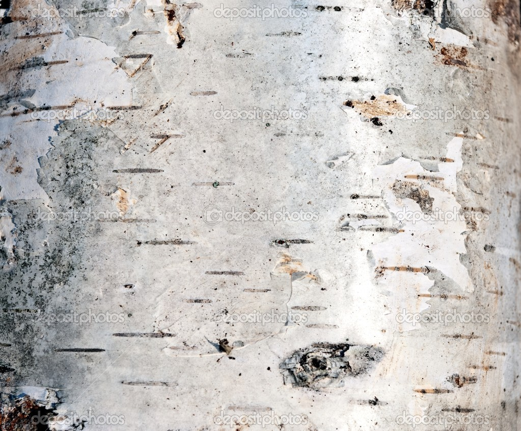 White Birch Bark Wallpaper Birch bark   stock image 1023x846