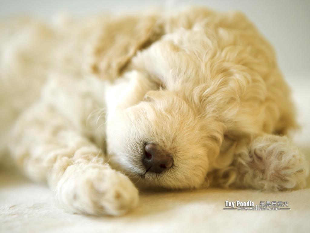 Toy Poodle Puppy Wallpapers 1024x768 NO17 Desktop Wallpaper   Wallcoo 1024x768