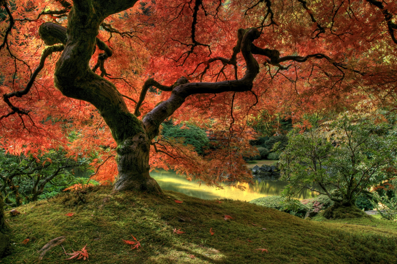 Source URL httpwwweazywallzcomjapanese maple tree wall mural 800x533