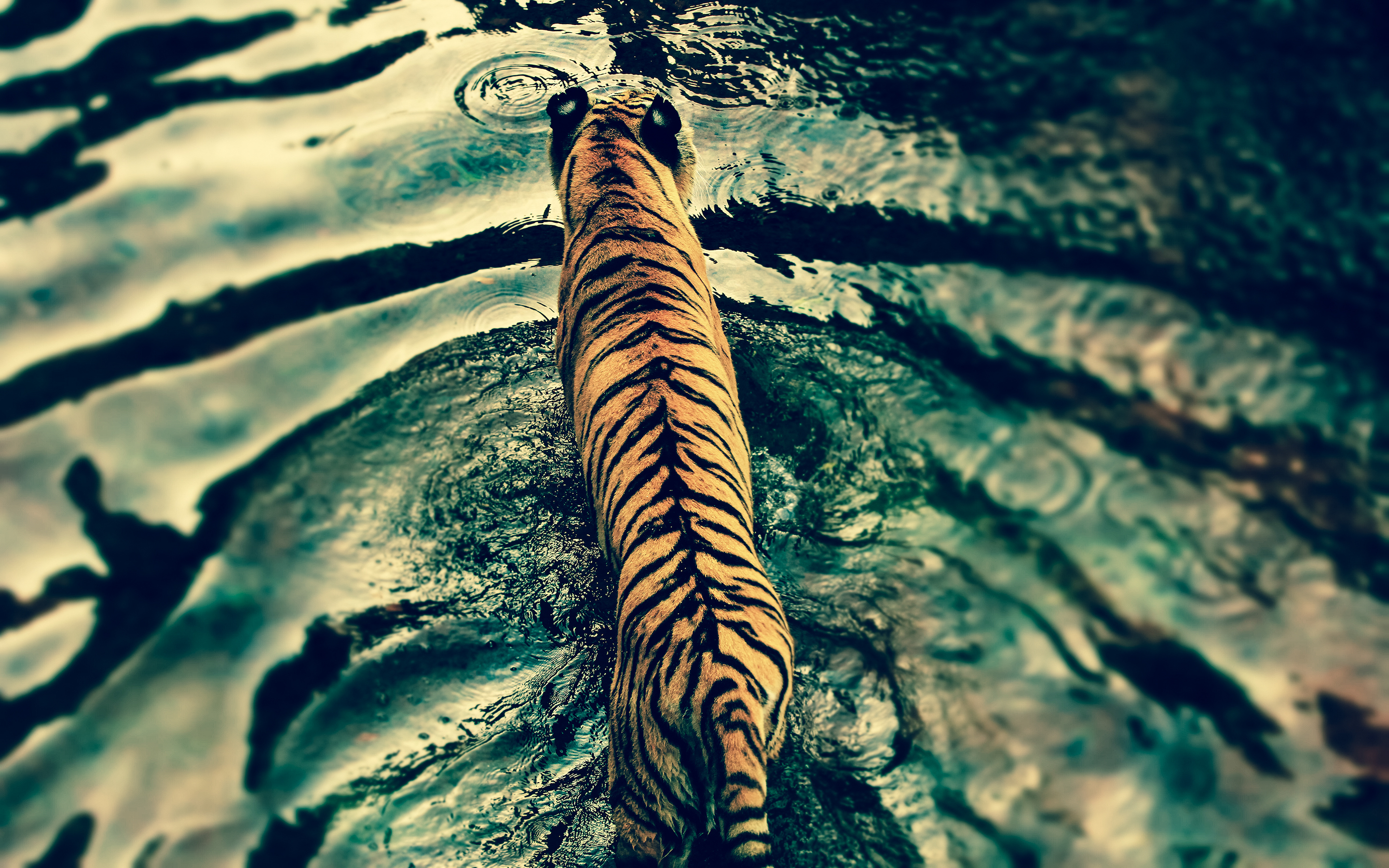 Download our latest collection of Tiger Hd Wallpaper For Laptop 2880x1800
