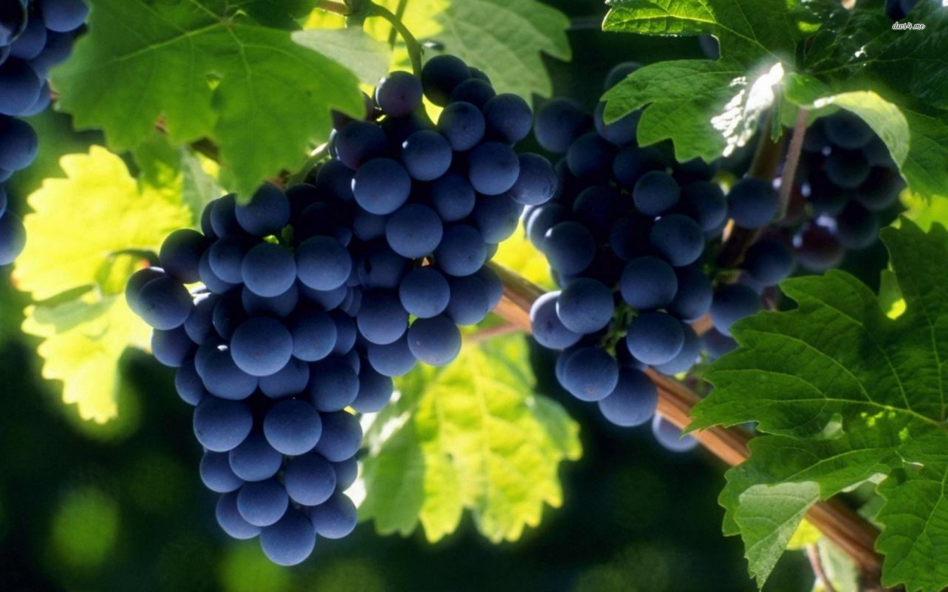 Grapes wallpaper   Photography wallpapers   18379 1920x1200