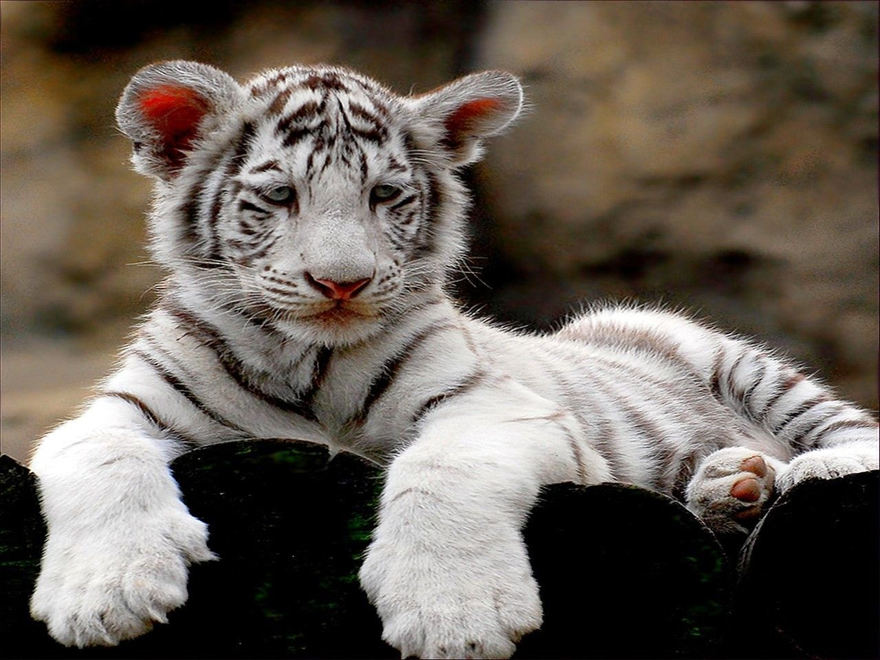 White Tiger Cubs Wallpaper Cute Wallpapers Gallery 1280x960