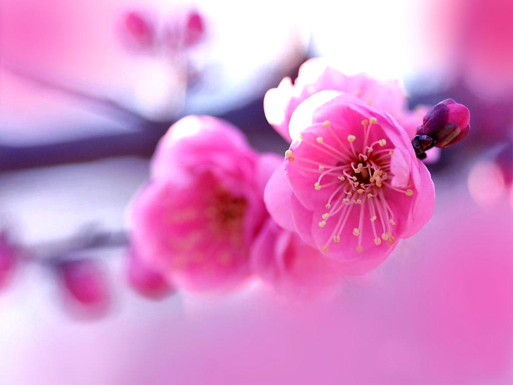 Stani Cricket Player Pink Flowers Wallpaper